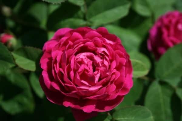 rose-de-rescht-favorite
