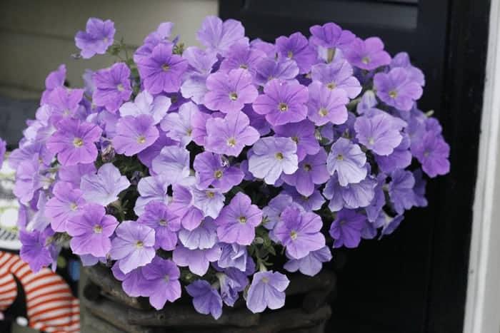 Herb Garden with Purple Petunias