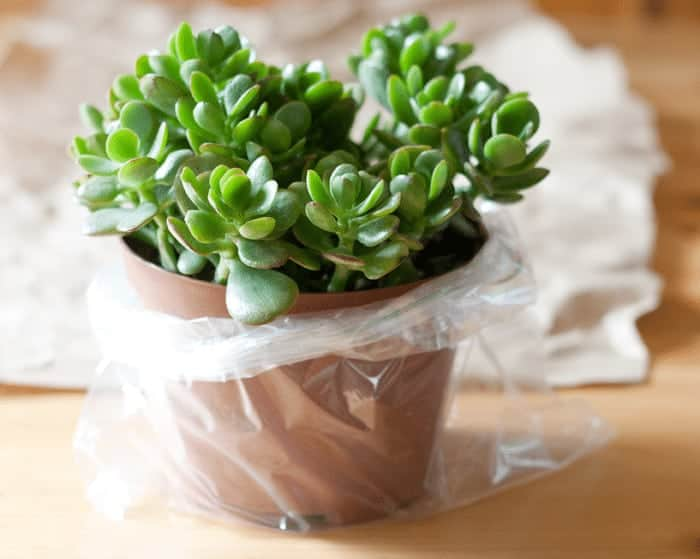 How to Wrap a Potted Plant for free ~ a rustic look for gift giving, weddings and parties cupcakesandcrinoline.com