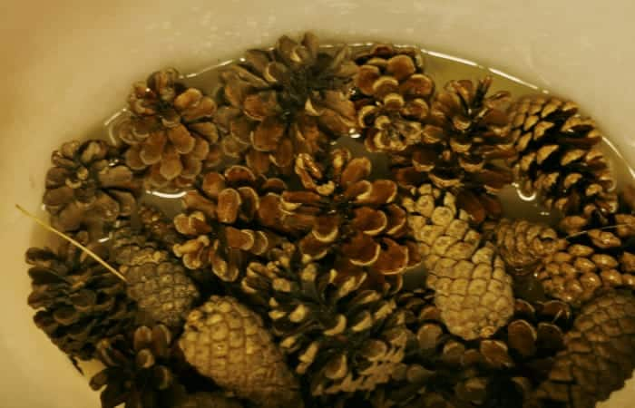 How to Bleach Pine Cones ~ Pine Cones in Bucket in Bleach Solution from cupcakesandcrinoline.com