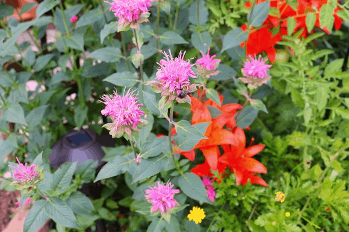 Bee Balm in the garden