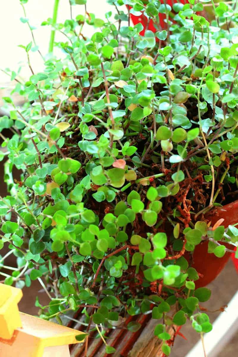 Plant on step of wooden stepladder - houseplant display.