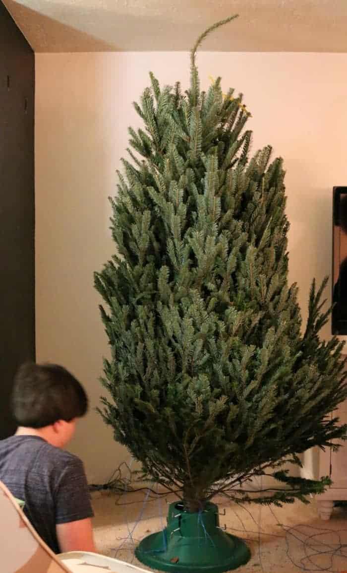 freshly-freed-fresh-cut-christmas-tree