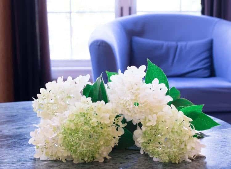 Fresh cut hydrangea blooms
