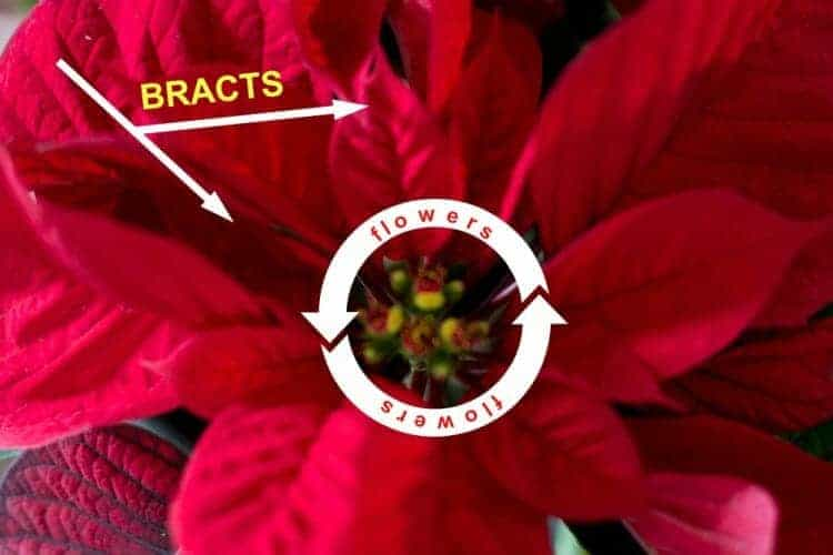 How to Care for a Christmas Poinsettia - FLOWERS AND BRACTS