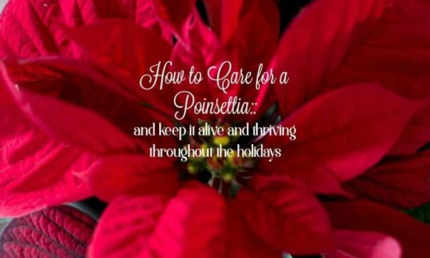 How to Care for a Poinsettia – Plus Free Printable Poinsettia Care Gift Tags