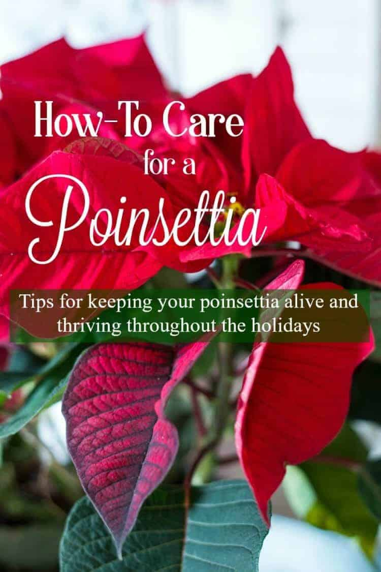 How to Care for a Christmas Poinsettia - tips for keeping your poinsettia alive and thriving throughout the holidays