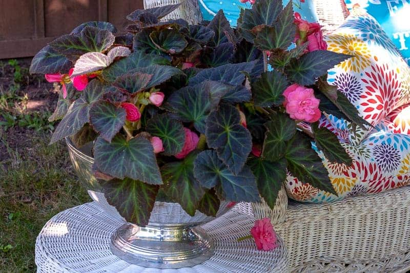 Moet and Chandon Silver Champagne Bowl filled with blooming pink begonias