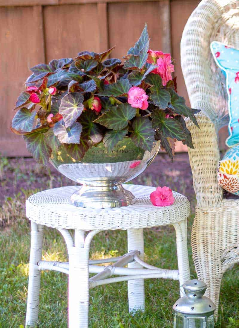 Silver Moet and Chandon bowl filled with potted blooming pink begonias