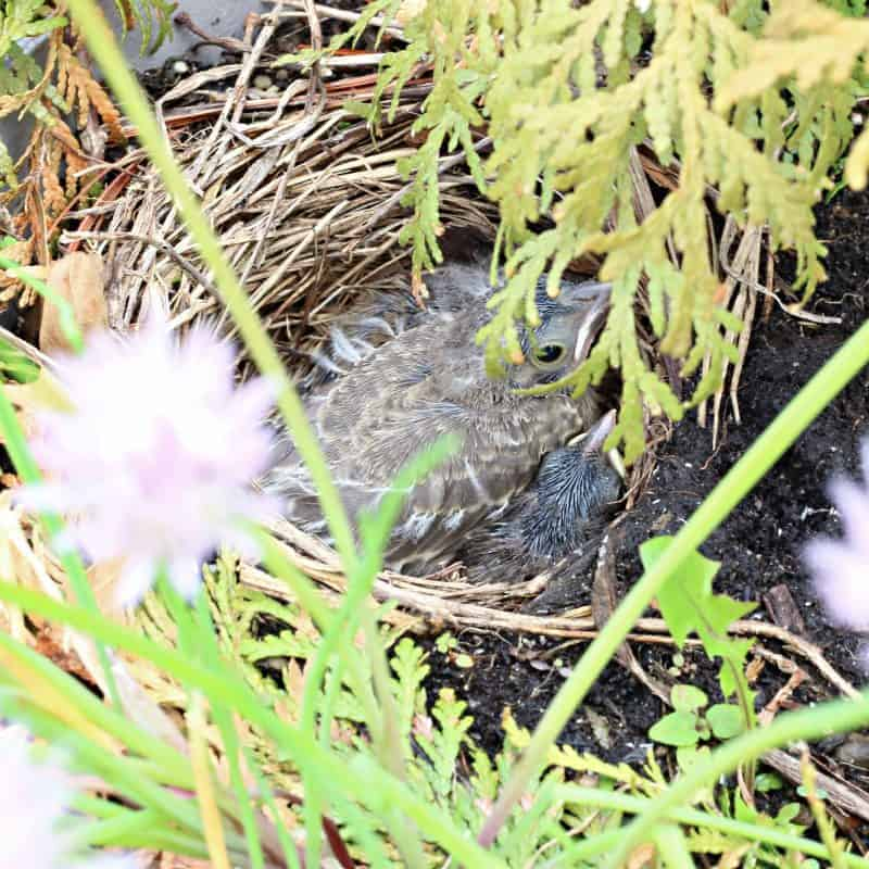 baby birds in nest in planter