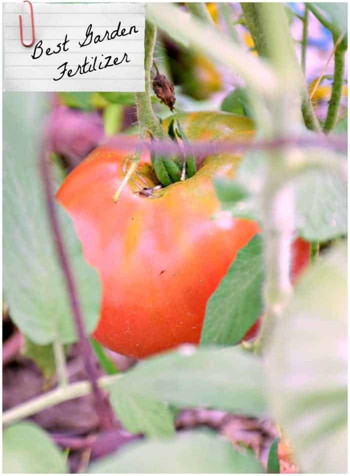 Photo of tomato in garden