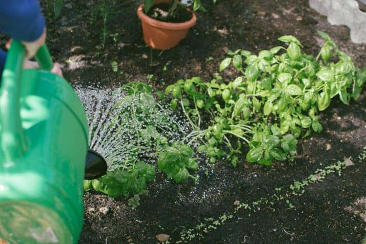 Watering garden with watering can