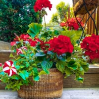 Upcycled Basket filled with beautiful red geraniums, red and white petunias and more! Upcycled Garden Planters